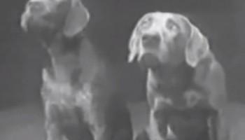 dog-duet-wegman