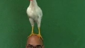 poule-arad